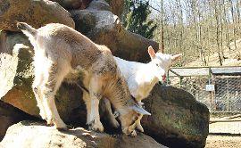 Klettergerüst Ziegen : Weisshauswald wildgehege aufwerten www.trier mitgestalten.de